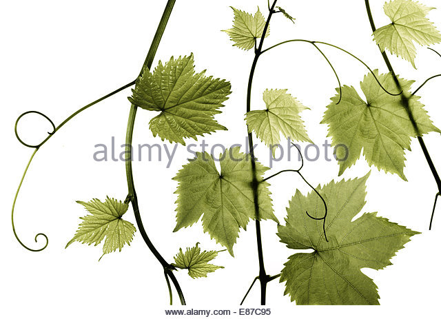 Fresh Grape leaves on white background - Stock Image