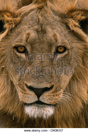 African lion portrait - Stock Image