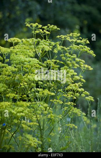 parsnip, pastinaca sativa - Stock Image