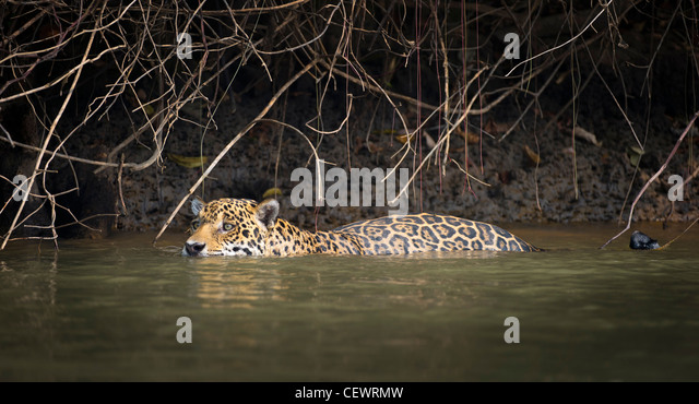 Wild male Jaguar swimming along the margins of the Piquiri River, a tributary of Cuiaba River, Northern Pantanal, - Stock-Bilder