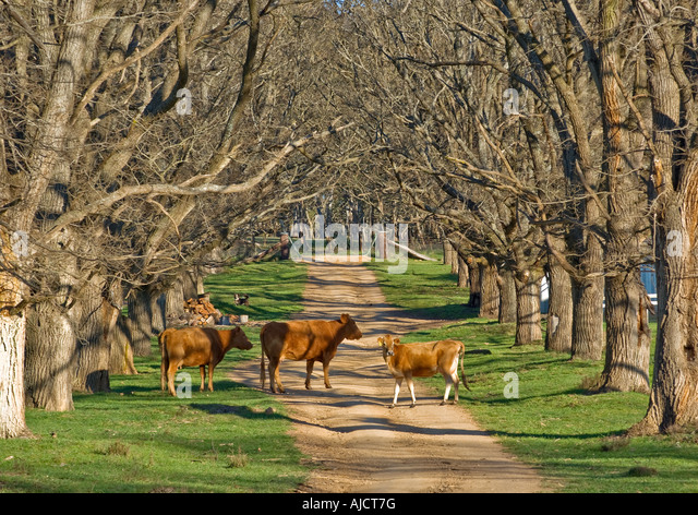 cows stand in the middle of the elm tree lined country road - Stock Image