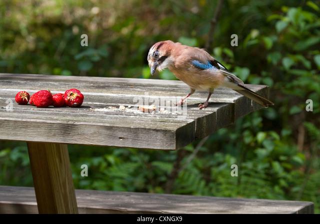 Eurasian Jay (Garrulus glandarius) stealing food from garden table - Stock Image