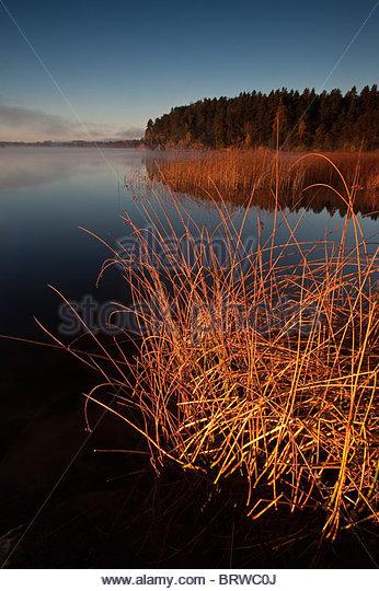 Reeds at Hvalbukt in the lake Vansjø, Rygge kommune, Østfold fylke, Norway. - Stock Image
