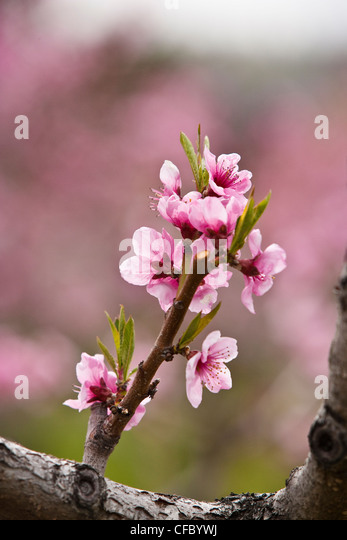 Blossoming peach trees near Oliver, Okanagan Valley, BC, Canada. - Stock Image