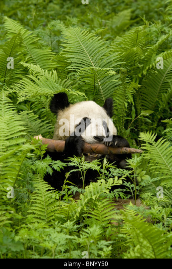 Giant panda lying amongst ferns, Wolong, Sichuan, China - Stock Image