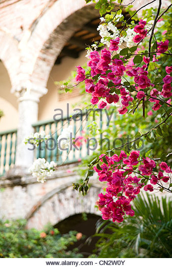 Bougainvillea in front of building - Stock Image