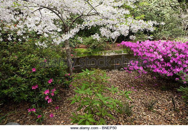 Japanese Cherry Blossom California Stock Photos Japanese Cherry Blossom California Stock