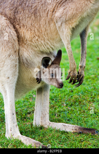 Grey kangaroo (Macropus giganteus) and joey - Brisbane, Queensland, AUSTRALIA - Stock Image
