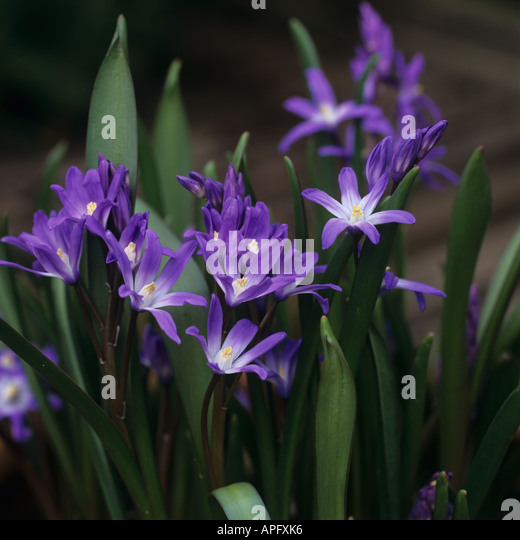 Chionodoxa forbesii Glory of the Snow flowering plants - Stock Image