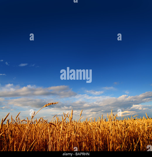 stems of wheat in sunset light under blue sky - Stock Image