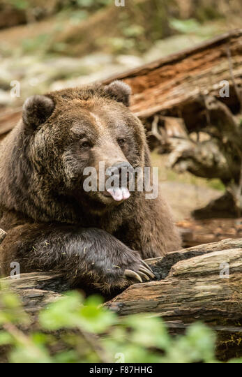 grizzly bear resting in - photo #4