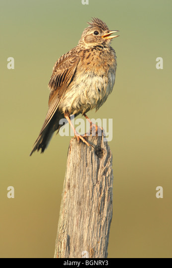 Eurasian Skylark (Alauda arvensis) singing from fence pole along field - Stock Image