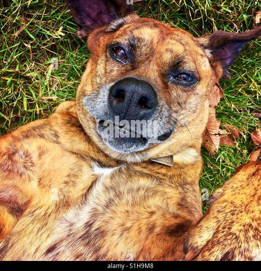 A boxer type dog lying on her back looking up at the camera - Stock-Bilder