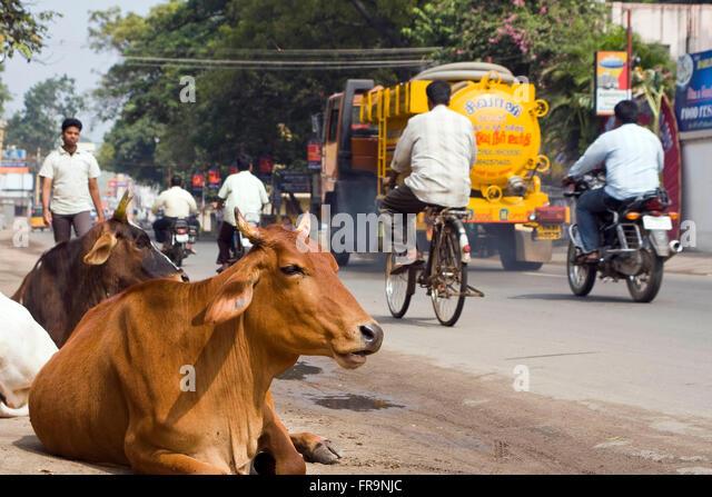 Asien, Indien, Tamil Nadu, Vellore, heilige Kuehe liegen am Strassenrand - Stock-Bilder