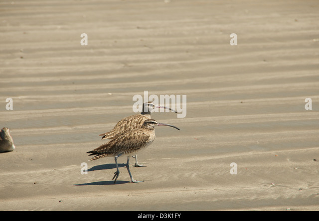 A pair of long beaked birds walking on the sand together - Stock Image
