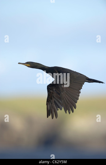 Shag Phalacrocorax aristotelis An adult in flight along a secluded coastline Shetland Islands, Scotland, UK - Stock-Bilder