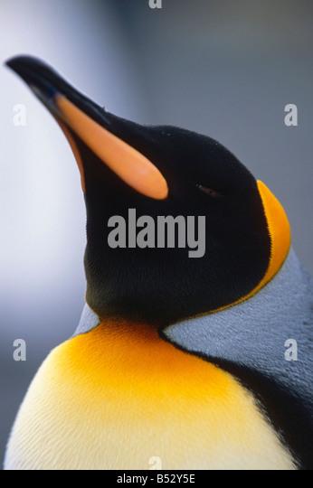 Closeup of King Penguin South Georgia Island Antarctic Summer - Stock Image