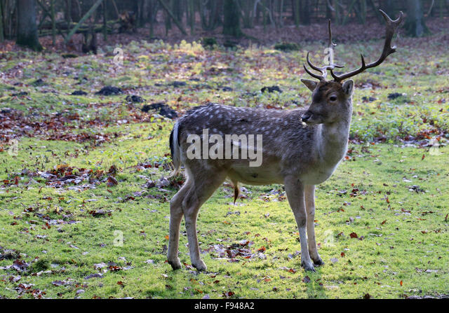 Shy deer in the open on grassland near a forest - Stock Image