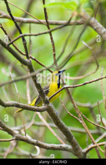 Juvenile Male Orchard Oriole - Stock Image