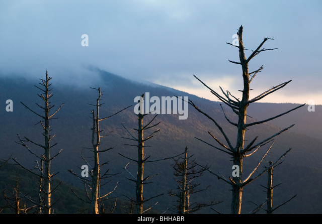 Pine-forest killed by air pollution, Mount Mitchell State Park, North Carolina, USA. - Stock Image