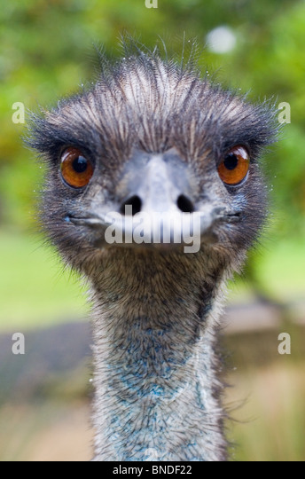 Emu (Dromaius novaehollandiae) looking at the camera, Australia - Stock-Bilder