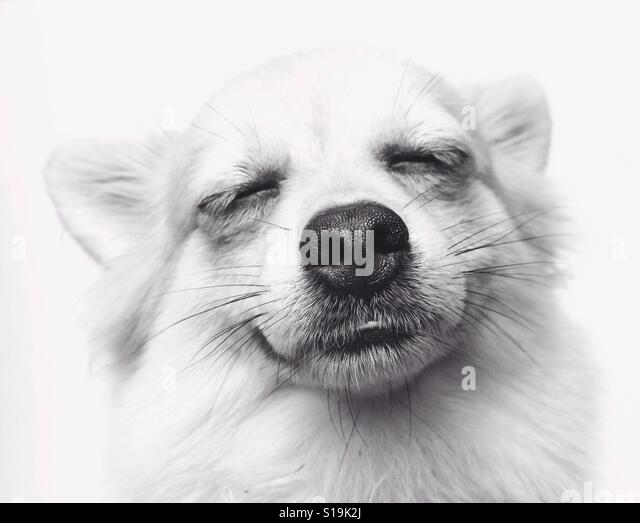 Happy Face of Chihuahua Long Hair - Stock Image