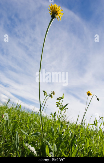 Yellow flower on grass, italy. - Stock Image