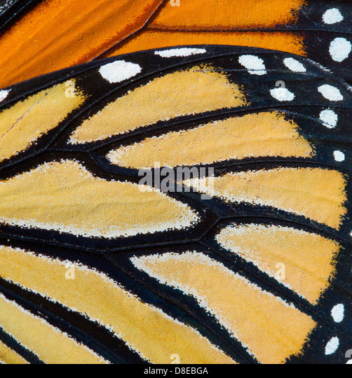 MONARCH BUTTERFLY (Danaus plexippus) wing detail, Florida, USA. - Stock Image