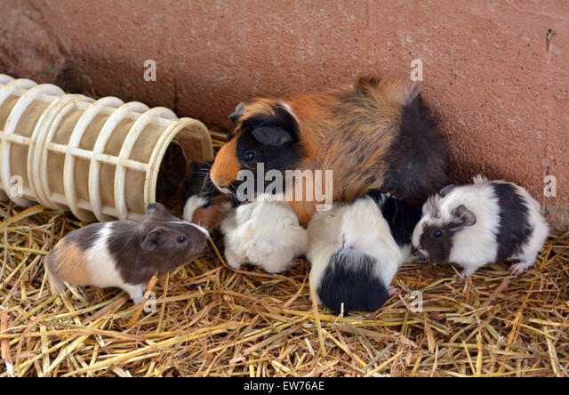 Parti-colored Abyssinian  Guinea pig mother feed hers cubs in Petting zoo. - Stock Image