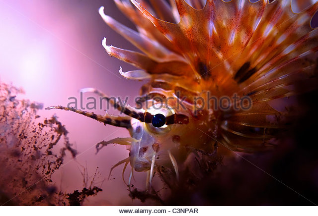 Spot Fin Lion Fish - Stock Image