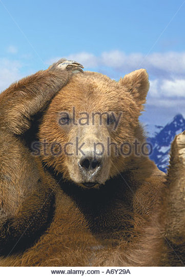 Brown Bear w paw on head Chugach Mtns SC AK Composite summer portrait - Stock Image