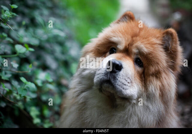 Head shot of an adult Chow Chow dog looking intently at something amid a sea of green foliage - Stock Image