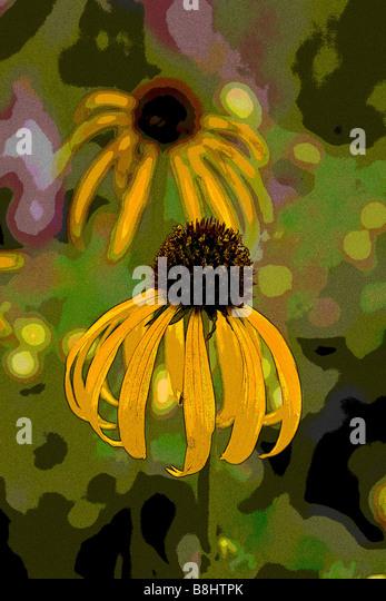 ECHINACEA PARADOXA YELLOW MELLOW - Stock Image