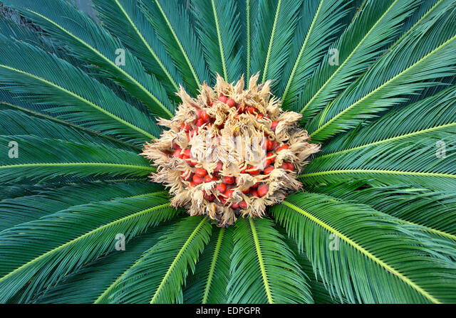 Sago palm, producing a felt mass in the center of the leaf mass. - Stock Image