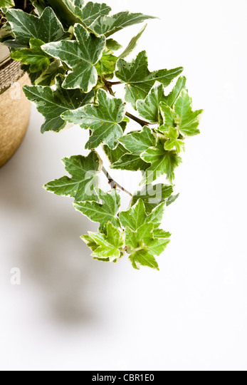 Green Ivy - Stock-Bilder