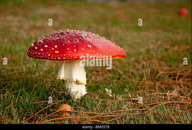 Fly agaric, Amanita muscaria, contains muscarine which is both poisonous and hallucinogenic. - Stock Image