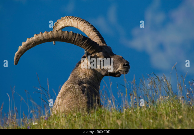 alpine ibex (Capra ibex), buck with impressive horns, Switzerland, Appenzell - Stock Image