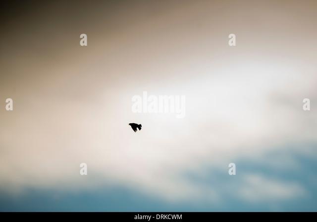 Skylark in flight, bird, calling, flying - Stock Image
