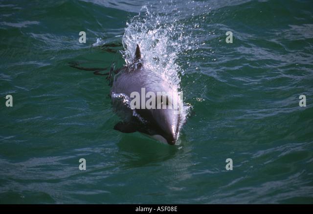 Hector s Dolphin Cephalorhynchus hectori porpoising Southland New Zealand - Stock Image