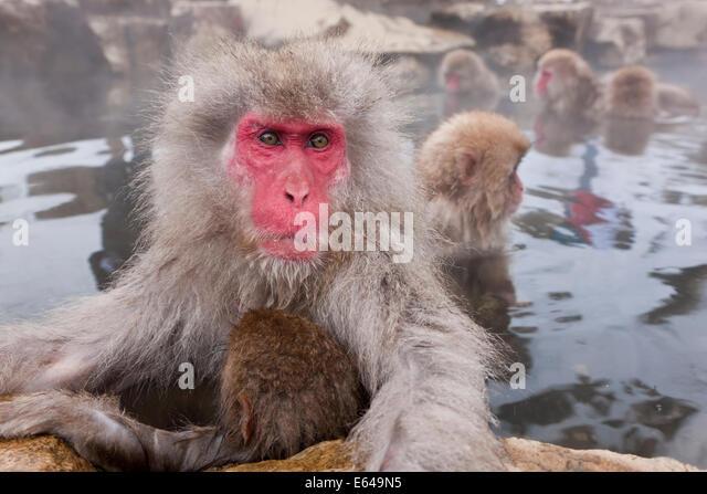 Japanese macaque (Macaca fuscata)/ Snow monkey, Joshin-etsu National Park, Honshu, Japan - Stock Image
