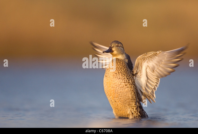 TEAL Anas crecca An adult female dries her wings after bathing. Norfolk, UK. Photographer.Andrew Parkinson - Stock-Bilder