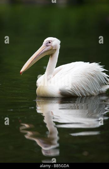 White Pelican - Pelecanus onocrotalus - Stock Image