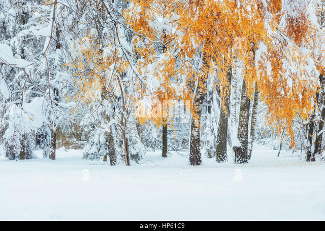 October mountain beech forest with first winter snow. Carpathian - Stock Image