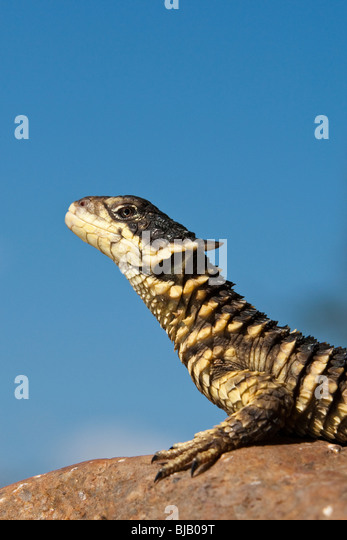 Sungazer lizard (Cordylus giganteus) sat on a rock looking upwards into a blue sky. - Stock Image