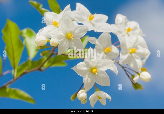 Solanum jasminoides of the potato vine in full flower against a blue sky - Stock Image