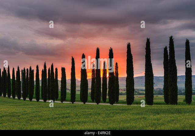 Cypress trees at sunrise, Poggio Covili, Tuscany, Italy. - Stock-Bilder