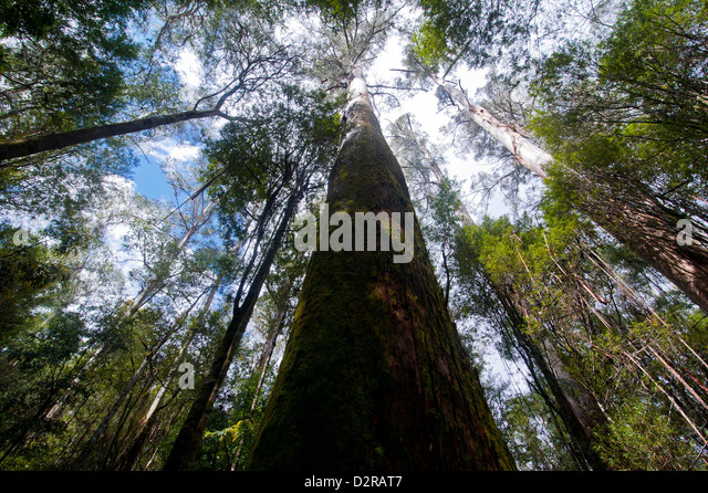 Pandani Grove Nature Trail, Mount Field National Park, Tasmania, Australia, Pacific - Stock Image
