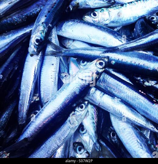 Anchovies fish close up - Stock Image
