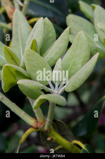 New Leaves on Rhododendron Bush in early summer - Stock Image