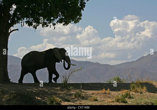 African elephant bull and sausage tree, Mana Pools, Zimbabwe - Stock Image